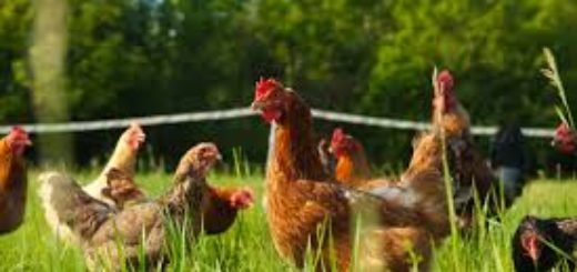Chickens, keeping chickens, feeding chickens, cutting chicken food cost, naturally feeding chickens, chicken food,